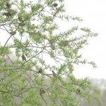 ヤナギの木にマヒワの群れ